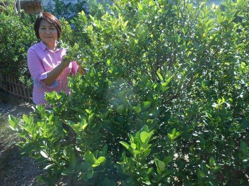 SWEET & FIT Mrs. Maura de Leon in the calamansi plantation.