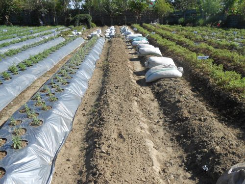 The sacks are combination of vermicompost and some well-composted chicken manure for fertilizing the plots.